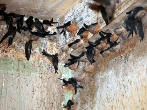 Kỹ thuật nuôi chim Yến phải đặc biệt chú trọng trong khâu làm tổ. Ảnh minh họa